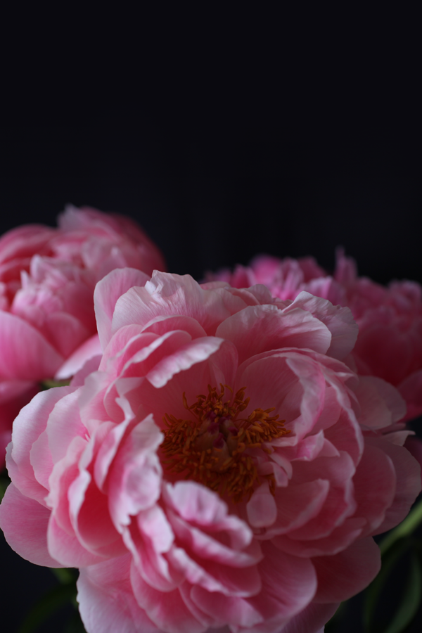 I Have This Thing With Pink - pink peony photo